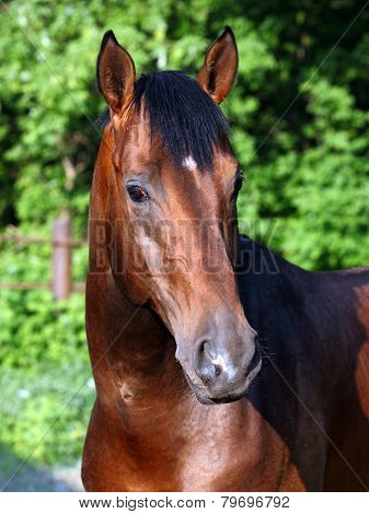 Thoroughbred race horse portrait