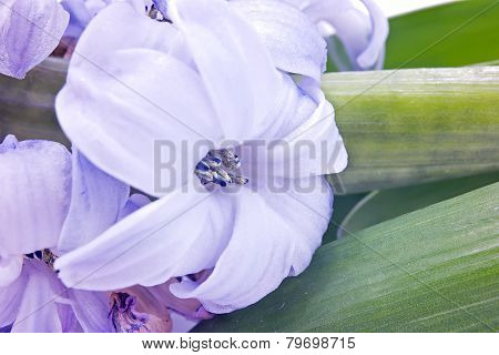 Hyacinth Closeup