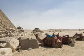 pic of the great pyramids  - camels near a great pyramid in Giza - JPG