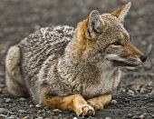 stock photo of zorro  - photo of a patagonian grey fox resting on the ground in the naticonal park of torres del paine in chilean patagonia - JPG