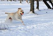 stock photo of labrador  - yellow labrador in the snow in winter running with a ball - JPG