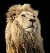 image of african lion  - A digital oil painting of a majestic and proud Lion on a black background - JPG