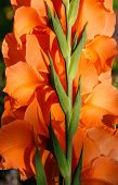 picture of gladiolus  - Back side of orange gladiolus growing in a garden - JPG