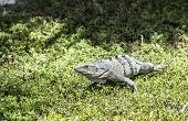 picture of fanny  - lizard at the grass in the national park in Key Biscane - JPG