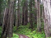 picture of redwood forest  - A dirt road cuts through a grove of virgin redwoods - JPG
