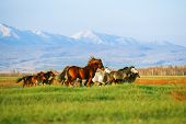 picture of herd horses  - Mountains landscape with herd of horses - JPG