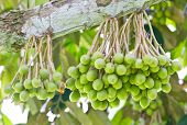 stock photo of spiky plants  - Close up of Small Durian Fruit Bunch on Tree - JPG