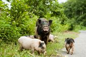 stock photo of piglet  - cute pig with piglets on countryside road - JPG