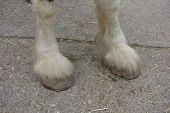 pic of shire horse  - Front hooves of a large shire horse - JPG