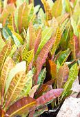 picture of croton  - Close up of Croton plant - JPG