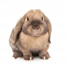 stock photo of dwarf rabbit  - Dwarf lop - JPG