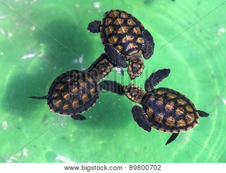 Baby Green Turtles.