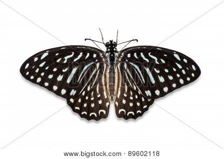 Spotted Zebra Butterfly