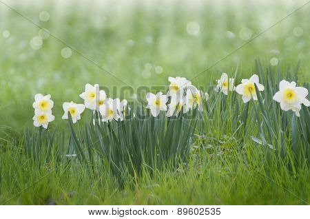 beautiful meadow with daffodils