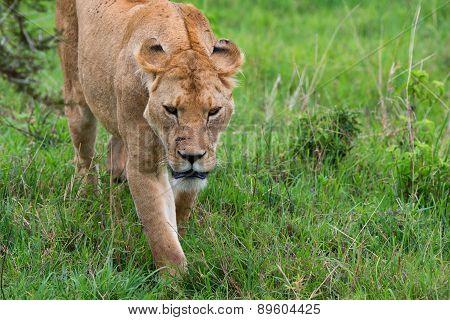 Closeup Of Lioness