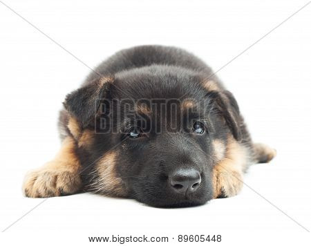 German Shepherd Puppy Waiting