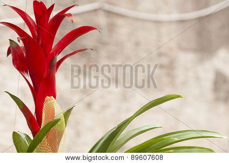Red Flower Guzmania.