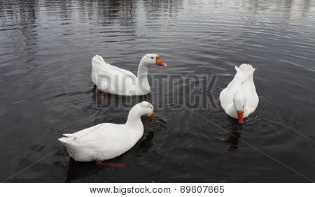 Embden domestic geese