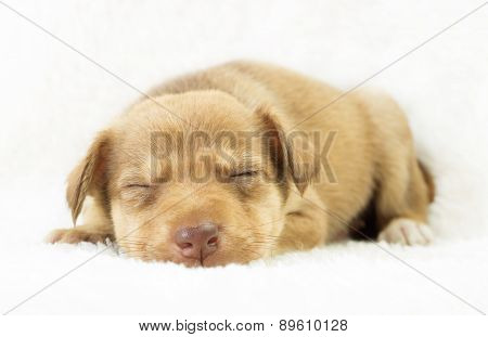 Lovely Puppy Sleeping