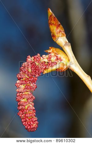Red Catkin