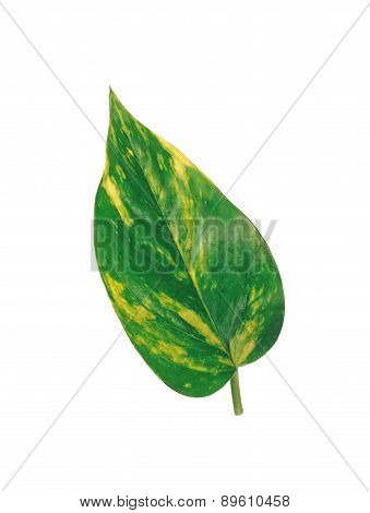 Big Green Leaf Isolated On White