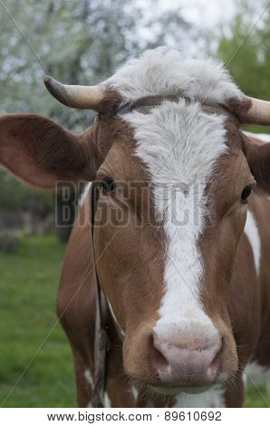 Cow An A Pasture. Closeup Portrait