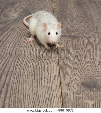Rat Sitting On The Wooden Floor