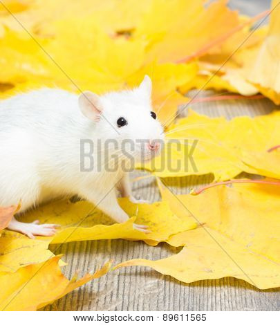 White Pet Rat