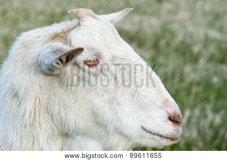 Country Goat