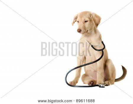 Dog And Stethoscope
