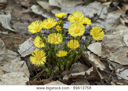 Spring Flowers (tussilago Fartura).
