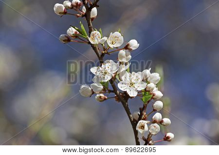 Blossoming Branch Of Cherry Tree