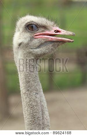 Winking Ostrich