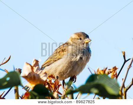 House Sparrow Bird Sitting On The Fence