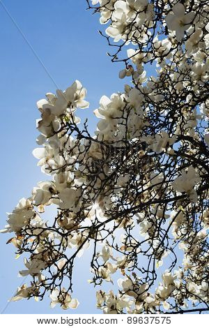 Magnolia With White Flowers