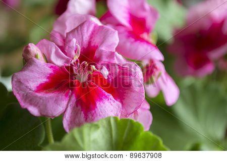 Pink pelargonium close-up