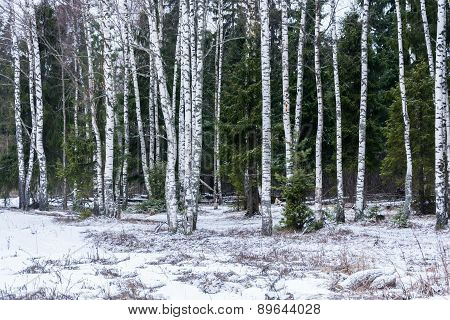 Birch on a background of firs.