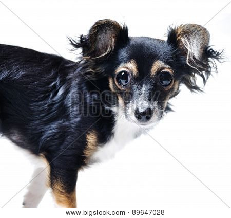 toy terrier dog isolated
