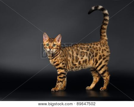 Bengal Cat Curious Looking in Camera on Black background