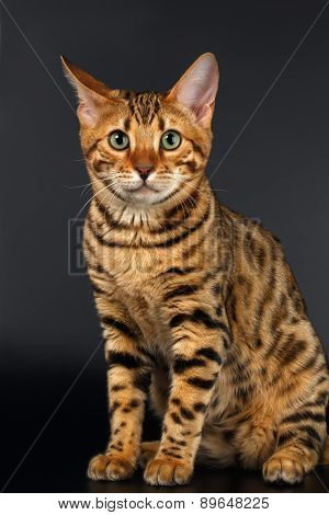 Bengal Cat Sits and Curious Looking on Black background
