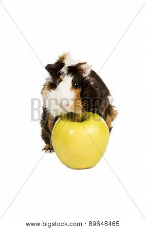 Guinea Pig On A Green Apple