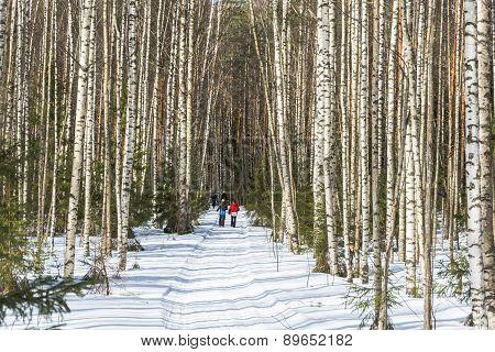 Forest road in the birch grove.