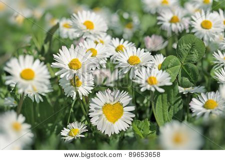 Heart in daisy flower