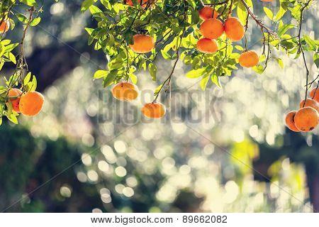 tangerine in market