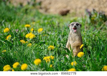 Meerkat With Open Mouth And Stick Out Tongue