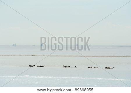 Seal in Dutch wadden sea