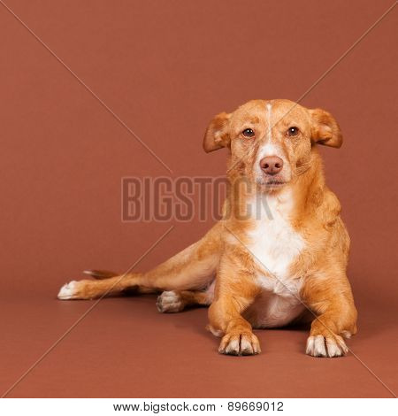 Spanish Podenco Andaluz on brown background
