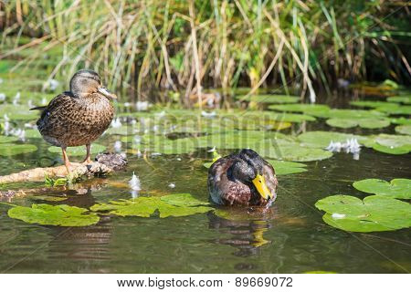 Couple mallard Ducks swimming in water