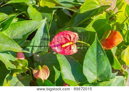 Close up of red Flamingo flower or Boy flower.