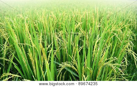 paddy rice plant in rice field , thailand